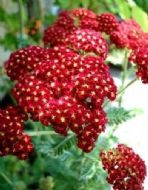 Achillea Rubra 30 Seeds - Attracts Bees and Butterflies,Unusual Colour